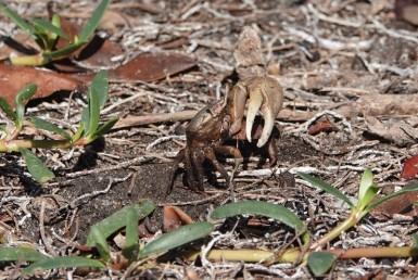 Miami - Matheson Hammock Park - Crabe
