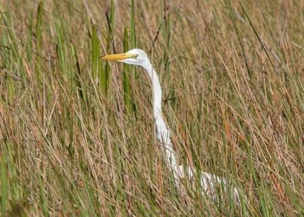 Parc National des Everglades - Anhinga Trail - Aigrette