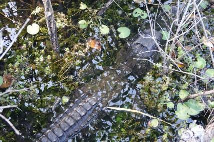 Parc National des Everglades - Anhinga Trail - Alligator