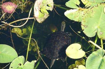 Parc National des Everglades - Anhinga Trail - Tortue