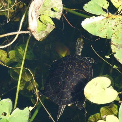 Parc National des Everglades - Anhinga Trail - Tortue