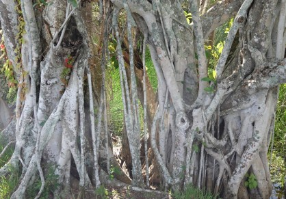 Parc National des Everglades - Gumbo Limbo Trail