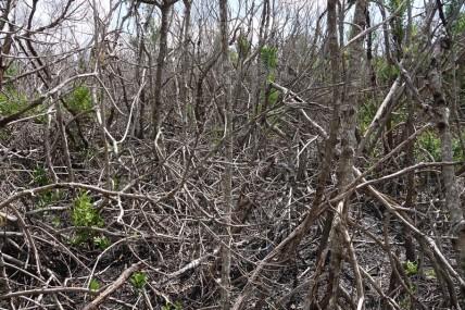 Parc National des Everglades - West Lake - Mangrove morte