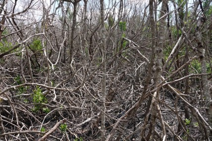 Parc National des Everglades - West Lake - Mangrove morte