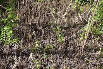 Parc National des Everglades - West Lake - Mangrove morte, avec en bas au premier plan, des petits tubes qui permettent l'échange d'oxygène et dioxyde de carbone entre la mangrove noire (sous l'eau) et la surface