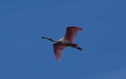 Parc National des Everglades - Eco Pond - Spatule rose