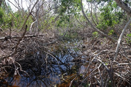 Crane Point Museum and Nature Center - Mangrove rouge