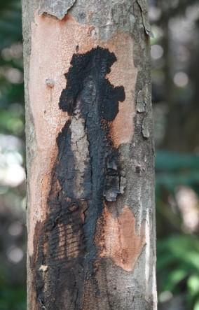 Crane Point Museum and Nature Center - Poisonwood secrétant une huile noirâtre très toxique
