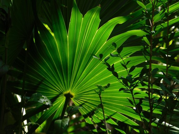 Crane Point Museum and Nature Center - Thatch Palm