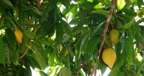 Miami - Fruit & Spice Park - Canistel