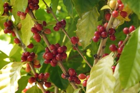 Miami - Fruit & Spice Park - Caféier