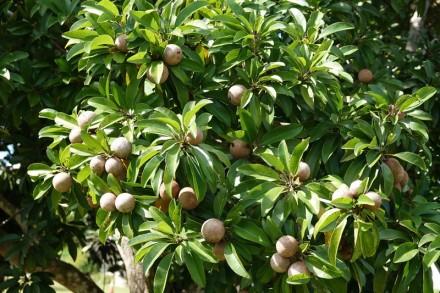 Miami - Fruit & Spice Park - Sapodilla