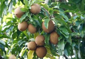 Miami - Fruit & Spice Park - Sapote