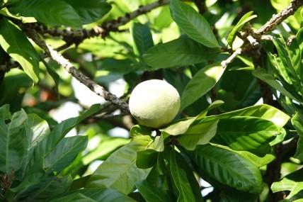 Miami - Fruit & Spice Park - Cinnamon Apple