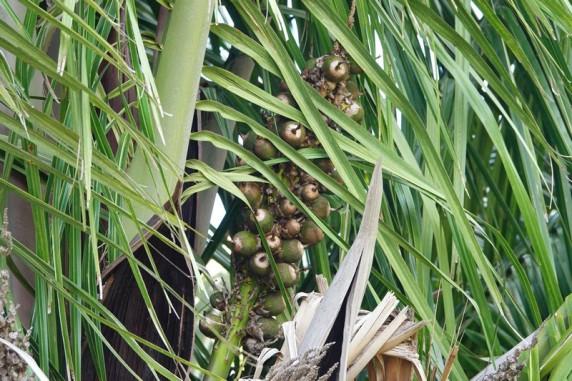 Miami - Fruit & Spice Park - Palmier