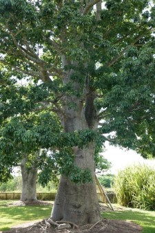 Miami - Fruit & Spice Park - Baobal