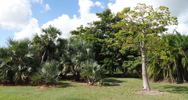Miami - Fruit & Spice Park - Baobab