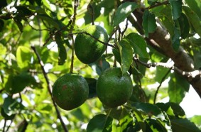 Miami - Fruit & Spice Park - Avocatier