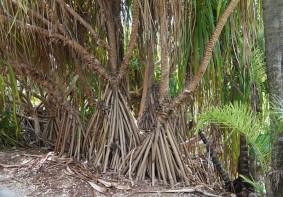 Miami - Fruit & Spice Park - Pandanus