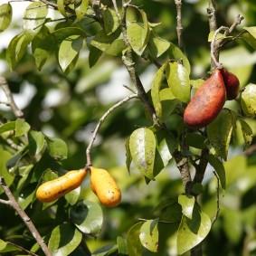 Miami - Fruit & Spice Park - Arham Apricot