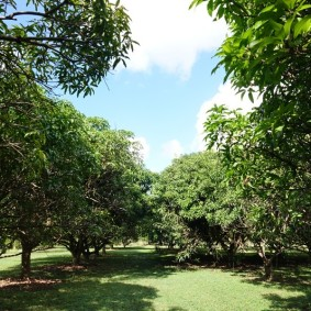 Miami - Fruit & Spice Park - Allée de manguiers