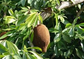 Miami - Fruit & Spice Park - Guyana chestnut