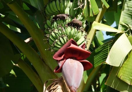 Miami - Fruit & Spice Park - Bananier