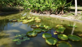 Miami - Fruit & Spice Park - Nénuphars