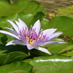 Miami - Fruit & Spice Park - Fleur de lotus