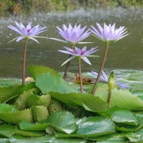 Miami - Fruit & Spice Park - Fleurs de lotus