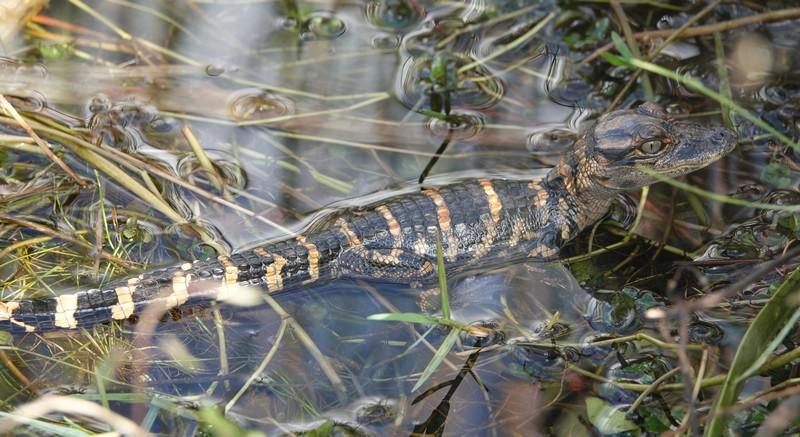 Parc National des Everglades - Shark Valley - Bébé alligator