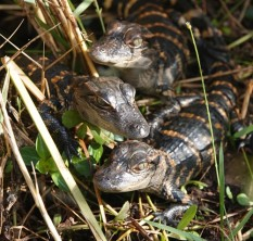 Parc National des Everglades - Shark Valley - Bébés alligators