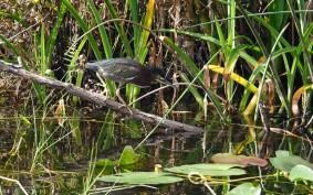 Parc National des Everglades - Shark Valley - Cormoran