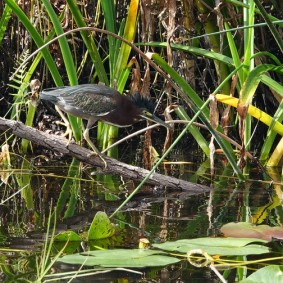 Parc National des Everglades - Shark Valley - Cormoran