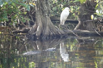 A la lisière du Parc National des Everglades - Loop Road - Alligator ET héron !