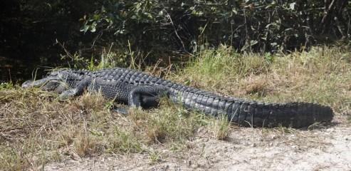 A la lisière du Parc National des Everglades - Loop Road