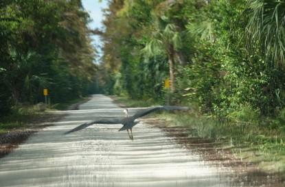 A la lisière du Parc National des Everglades - Loop Road - Vol de héron juste devant la voiture !
