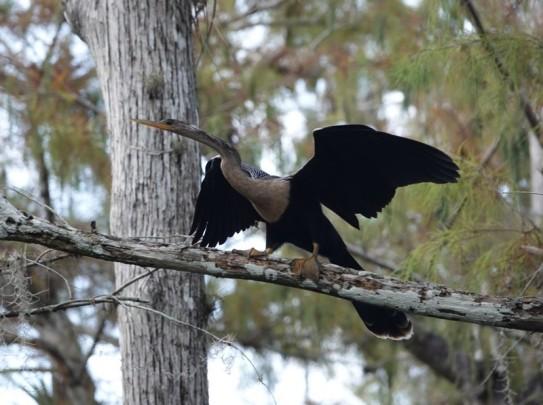 A la lisière du Parc National des Everglades - Loop Road - Cormoran