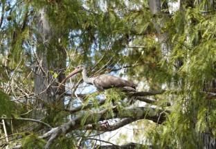 A la lisière du Parc National des Everglades - Loop Road - Ibis