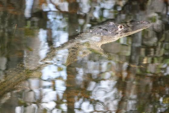 A la lisière du Parc National des Everglades - Loop Road - Alligator