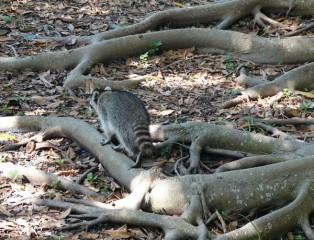 Sarasota - Marie Selby Botanical Gardens - Raton laveur !