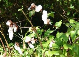 Sarasota - Marie Selby Botanical Gardens - Coton