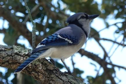 Sarasota - Marie Selby Botanical Gardens - Mocking bird