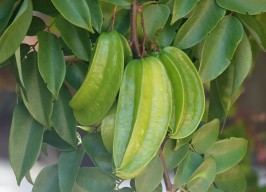 Sarasota - Marie Selby Botanical Gardens - Carambole