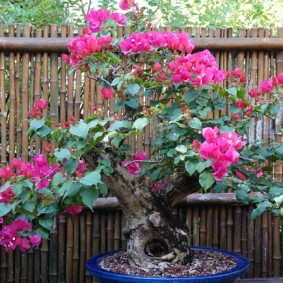 Sarasota - Marie Selby Botanical Gardens - Bonzai rose des sables