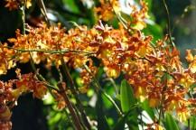 Sarasota - Marie Selby Botanical Gardens - Serre aux orchidées
