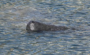 Tampa Electric's Manatee Viewing Center - Lamantin - Mufle