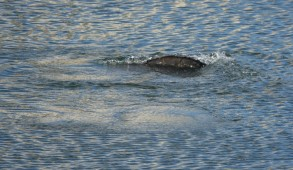 Tampa Electric's Manatee Viewing Center - Lamantin - Nageoire caudale