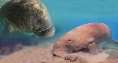 Tampa Electric's Manatee Viewing Center - A gauche, un lamantin et à droite, un dugong présent au bord de l'océan Indien et de l'océan Pacifique ouest - Image du Visitor Center