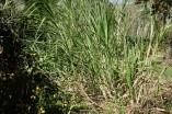 Plantation Laura - Plant de canne à sucre